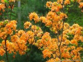 native flame azalea