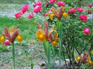 dutch iris and knockout roses