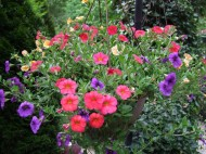 mixed color calibrachoa