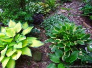 hostas in secret garden