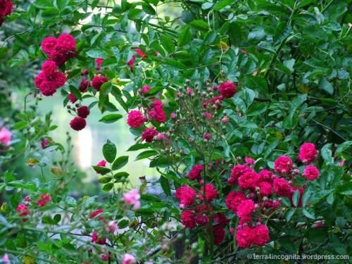 roses and lake