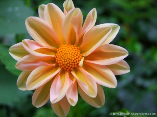 semi-double peach dahlia