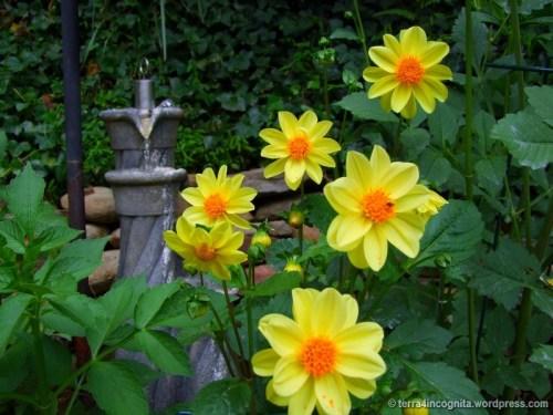 yellow unwins dwarf