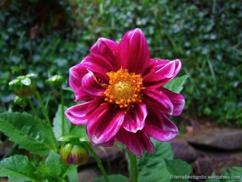 purple double dahlia