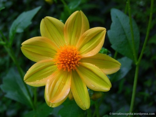 yellow and orange dahlia
