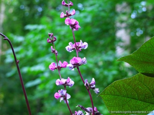 Hyacinth Bean flowers