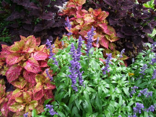 coleus and salvia