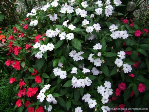 red and white sunpatiens in front border