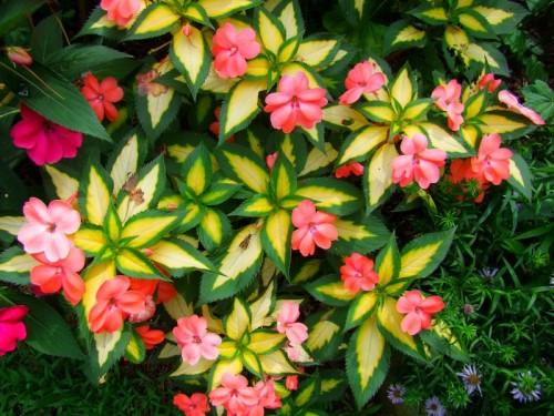 variegated sunpatiens