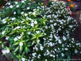 white sunpatiens and begonias
