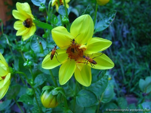 soldier beetles on dahlias