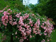 pink roses on fence