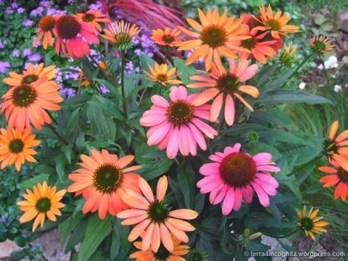 mixed shades of Echinacea Cheyenne Spirit