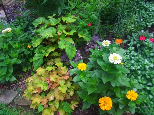 heuchera, hardy begonia, zinnias, forget-me-nots