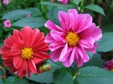 red and pink dahlias