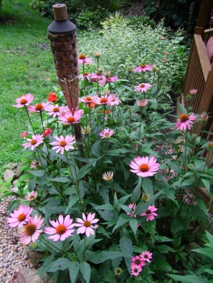 coneflowers at gazebo