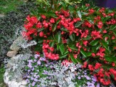 dragonwings, ageratum, dusty miller