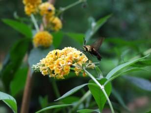 hummingbird moth on yellow butterfly bush