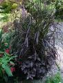 purple fountain grass and polka dot plant