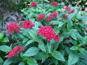 penta flowers