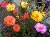 portulaca blooms