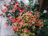 new guinea impatiens and coleus
