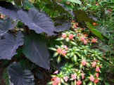black elephant ears and sunpatiens