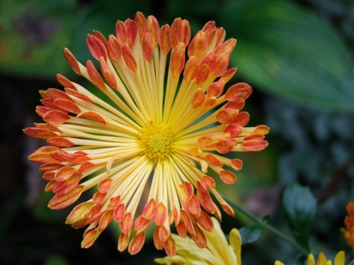 Matchsticks Mum Flower