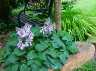 hosta in secret garden