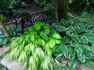 hostas and forest grass
