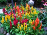 fresh look celosia from seed