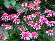 pink double delight coneflowers