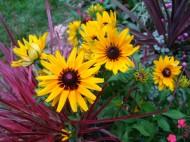 denver daisies