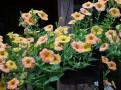 Terracotta crazytunia
