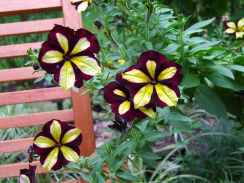 Star Jubilee crazytunia