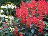 coneflowers and salvia