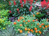 salvia, zinnias, mixed
