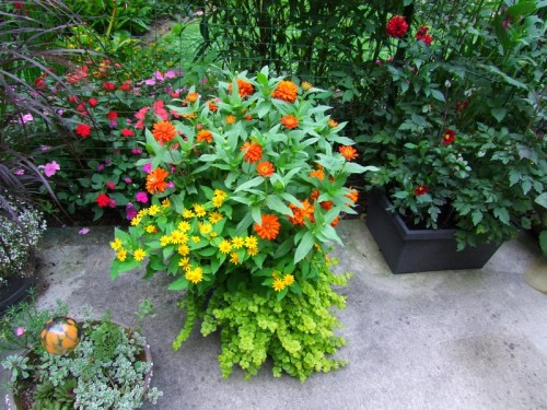 container zinnias, etc